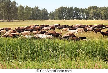 Flock of sheep grazes on a meadow.