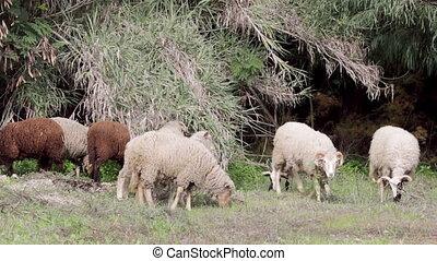 Flock of sheep grazing A2 - Flock of Sheep grazing on...