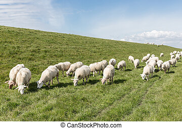 Flock of sheep grazing along a Dutch dike