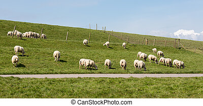 Flock of sheep grazing along a Dutch dike - Herd of sheep...