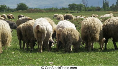 Flock of Sheep Grazing and Eat Grass on Meadow. Animals Walk...
