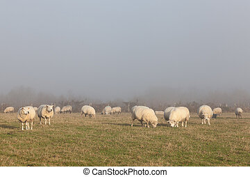 Flock of sheep grazing in a misty winter pasture