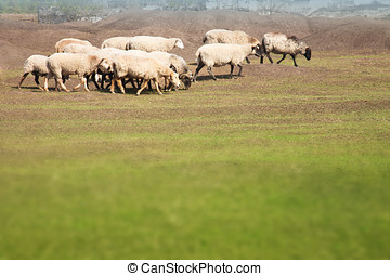 Flock of sheep grazing in the meadow