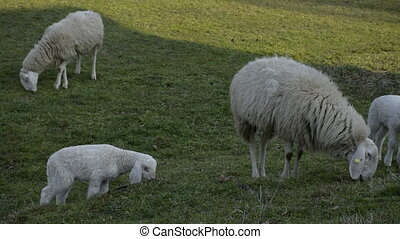 Flock of sheep grazing on a field of farmland.