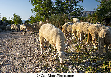 flock of sheep grazing on a mountain pasture