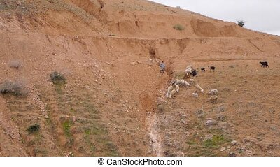Flock of sheep grazing on a rock in Morocco