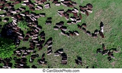 flock of sheep grazing on field