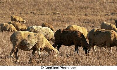 Flock of Sheep Grazing on Fields