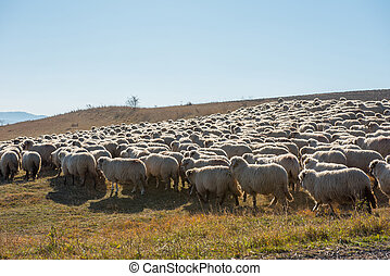 Flock of sheep grazing on meadow