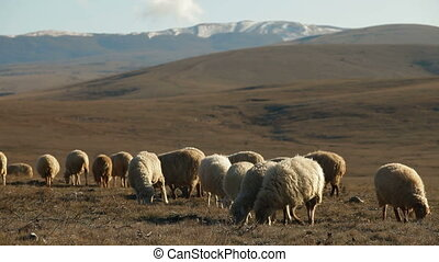Flock Of Sheep Grazing On Mountain