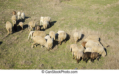 flock of sheep grazing on the hillside