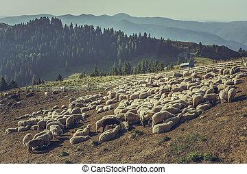 Flock of sheep in sheep pen - Large flock of sheep gathered ...
