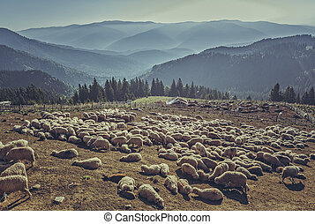 Flock of sheep in sheepfold - Large flock of sheep resting ...