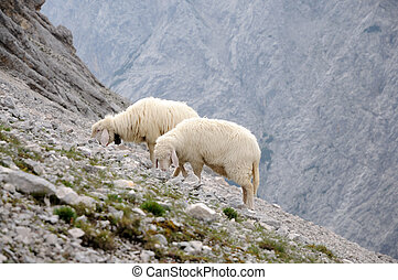 Flock of sheep in the alpin mountains