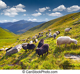 Flock of sheep  in the Carpathian mountains. Ukraine, Europe