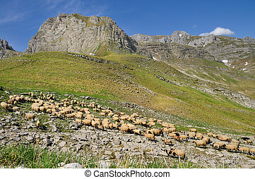 Flock of sheep in the mountain of D