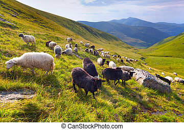 flock of sheep  in the mountains at summer