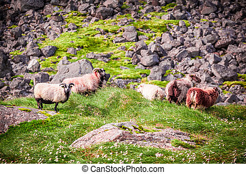 Flock of sheep in the mountains, Iceland