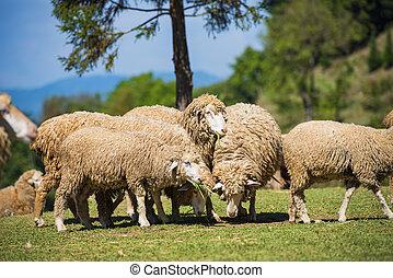 Sheeps in a meadow in farm.