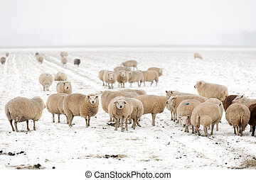 Flock of sheep in the snow