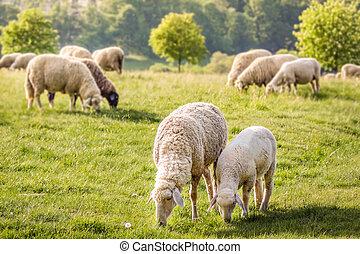 Flock Of Sheep in the Taunus mountains near Engenhahn, Hesse, Germany