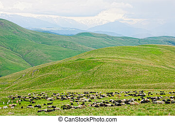 flock of sheep is grazed on a pasture in mountains