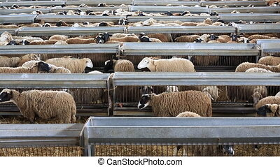 Flock of sheep - Loopable view of flock of sheep inside...