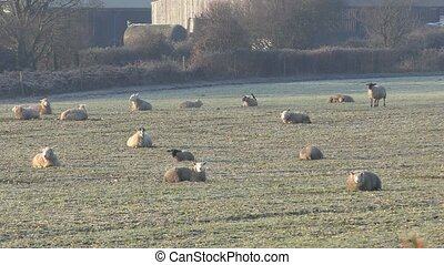 Flock of sheep lying on the field.