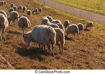 Flock of sheep on a dyke.