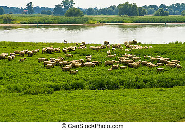 flock of sheep on a river