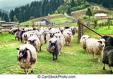 Flock of sheep on farm