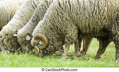flock of sheep on green grass