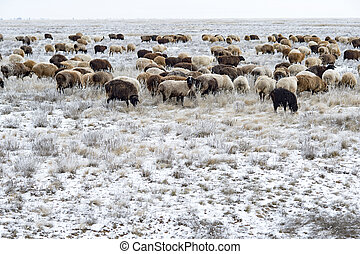 Flock of sheep on pasture in the winter