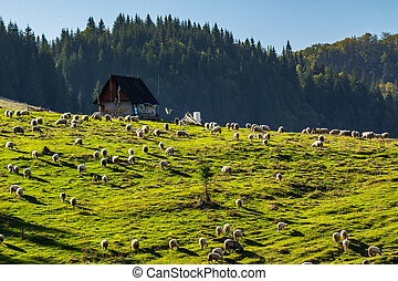 flock of sheep on the meadow near  forest in mountains