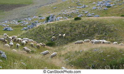 flock of sheep on the slopes of the hill in Montenegro