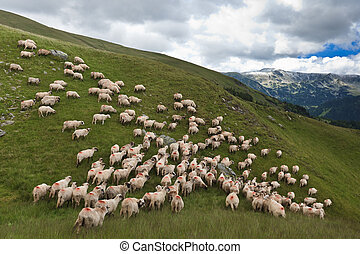 flock of sheep - a flock of sheep in a mountain valley....