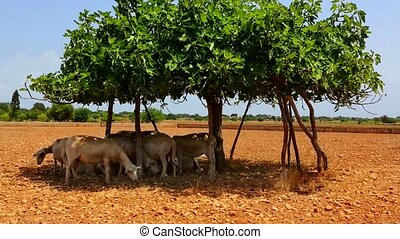 Flock of sheep under a fig tree shadow in formentera Ibiza...