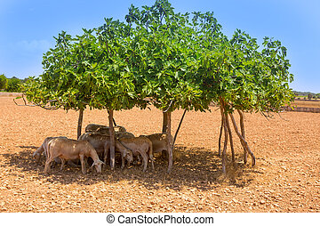 flock of sheep under fig tree shadow on summer hot day in...