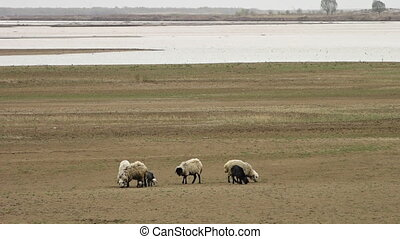 Flock of Sheep Walk in Field - Handheld, panning, exterior,...
