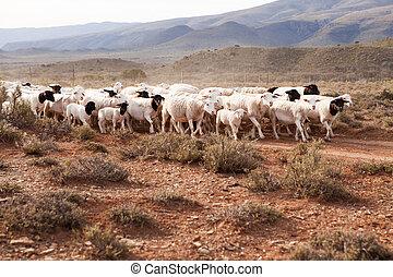 Flock of sheep walking down gravel road in arid landscape