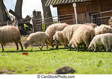 Flock of sheeps at the farm eating fresh grass in the spring