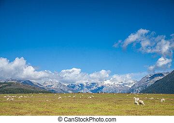 Flock of sheeps in New Zealand