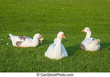 flock of sleeping geese on grass