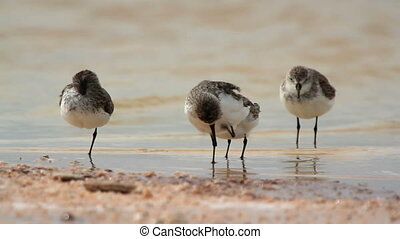 flock of small bird in the waters edge in ria largartos,...