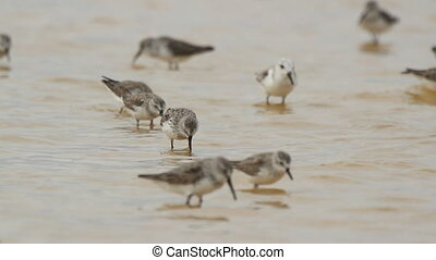 flock of small bird in the waters edge in ria largartos, mexico