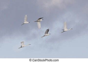 Flock of Snowy Egrets flying overhead - Merritt Island Wildlife Refuge, Florida
