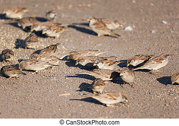 flock of sparrows eat grain on the ground