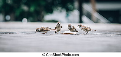 Flock of sparrows eating bread crumbs on the street