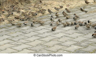 Flock of sparrows eating millet in urban park outdoors