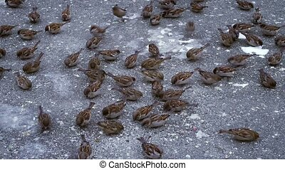 Flock of sparrows fighting over bread crumbs. - Flock of...